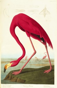 The American Flamingo by John James Audubon.