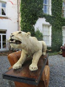 Edwardian Mounted Lioness Fully Grown About to Pounce ~(4,000-7,000)