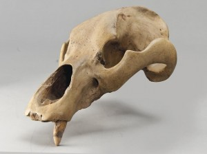 Cave Bear Skull From the upper Pleistocene, 126,000-12,000 years old (£2,000-3,000).  Courtesy Christie's Images Ltd. 2014.